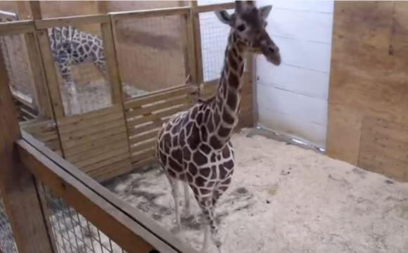 Watch live: April the giraffe continues to progress toward giving ... - fox13now.com