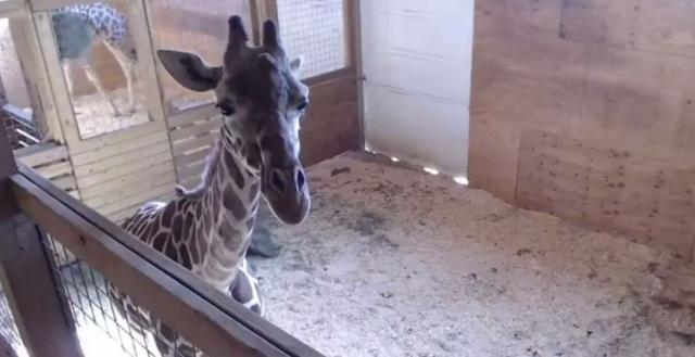 WATCH LIVE: April the giraffe prepares to give birth | WBNS-10TV ... - 10tv.com