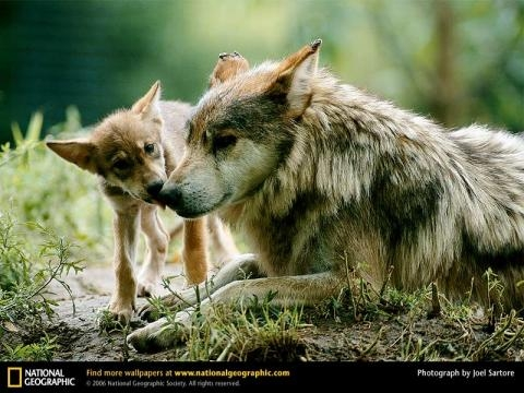 speak out against the shooting and killing of hibernating wolves, bears and their young. | Howling For Justice - wordpress.com