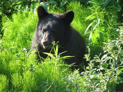 The NRA has persuaded Congress to legalize the killing of bear ... - thinkprogress.org