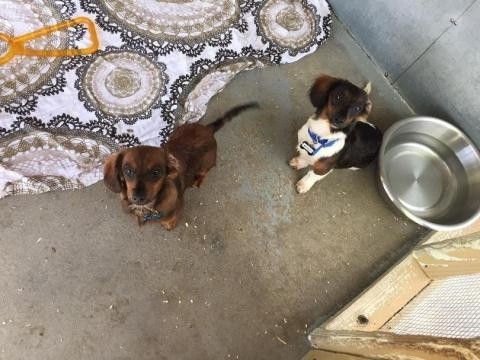 47 dachshunds rescued in Arkansas now need homes - wjhg.com