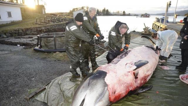 Fue el plástico: así enfermó la ballena sacrificada en Noruega - elespanol.com