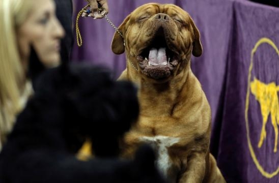The funniest moments from the 2017 Westminster Dog Show - AOL News - aol.com