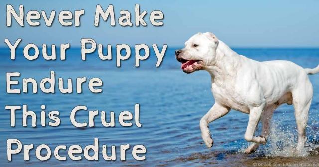 Cruel practice - Ear Cropping: Never Make Your Puppy Endure This Cruel Procedure - mercola.com