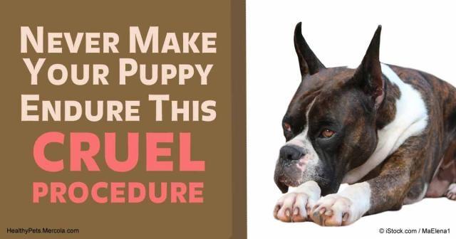 Ear Cropping: Never Make Your Puppy Endure This Cruel Procedure - mercola.com
