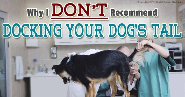 Know why the AKC Remain Staunchly in Favor of Tail Docking? - mercola.com