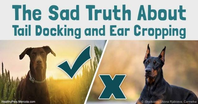 Tail Docking and Ear Cropping - A Barbaric Procedures in Dog - mercola.com