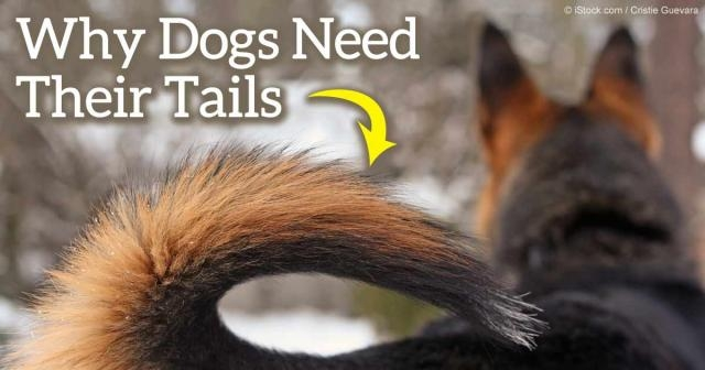 Why Does the AKC Remain Staunchly in Favor of Tail Docking? - mercola.com