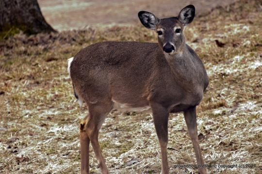 Whitetail deer in Punxsutawney PA USA photo by author