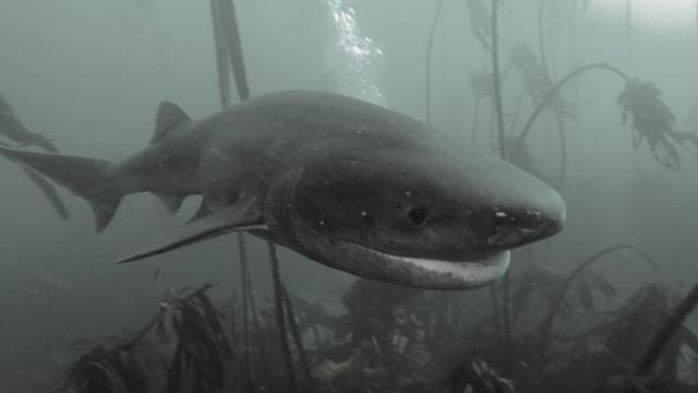 The 6-gill Shark hunting in the deep