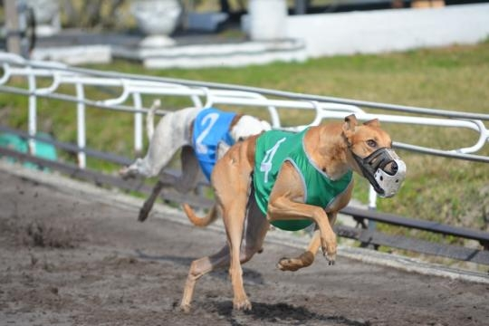 Greyhound racing gives audiences a thrill and dogs a purpose ... - yourobserver.com