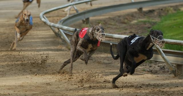It's Time to Stop Greyhound Racing In Its Tracks | ASPCA - aspca.org