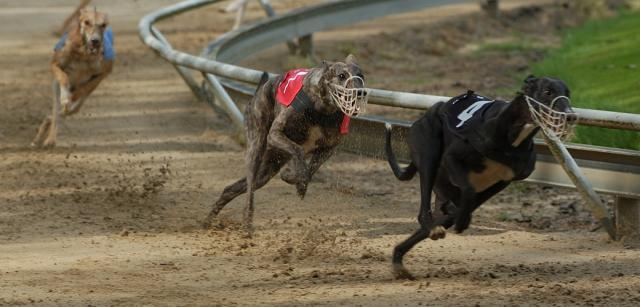 It's Time to Stop Greyhound Racing In Its Tracks using steroids | ASPCA - aspca.org