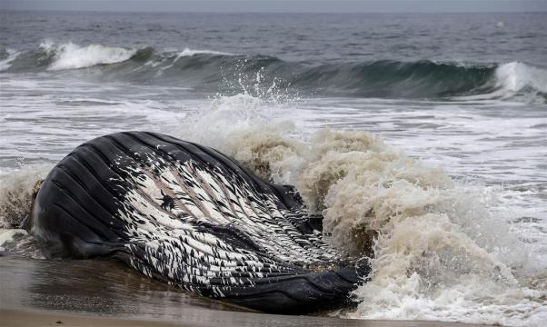 humpback whale – News Stories About humpback whale - Page 1   Newser - newser.com