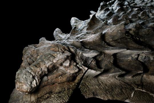 Das Fossil des Nodosaurus erinnert stark an einen Drachen. Bild: Robert Clark