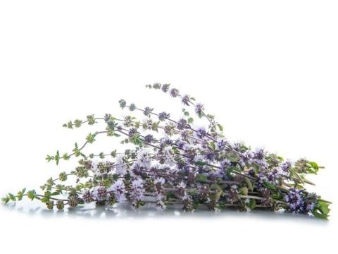 13 Best Benefits of Penny Royal Essential Oil   Organic Facts - organicfacts.net