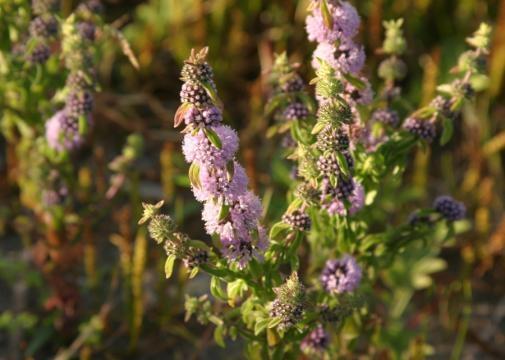 Pennyroyal Tea ⋆ Sarah Sexy Plants - sarahsexyplants.com