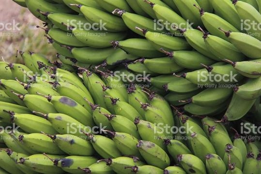 Uganda Green Bananas stock photo 484311789 | iStock - istockphoto.com