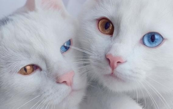 A heterocromia está associada a gatos de pelo branco e gatos de três cores
