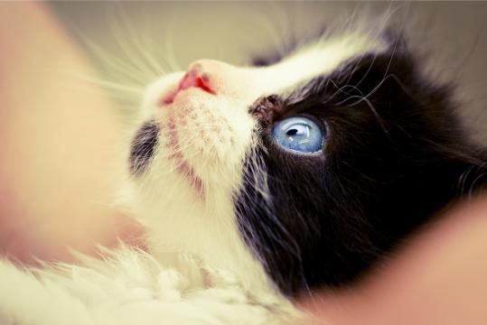 Todos os felinos nascem com os olhos azuis!