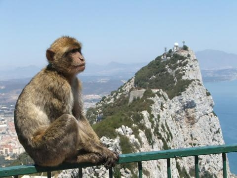 Barbary Macaque in Gibraltar - Gibmetal77 via Wikimedia Commons