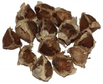 Graines de moringa séchées. On peut en extraire l'huile ou les croquer!