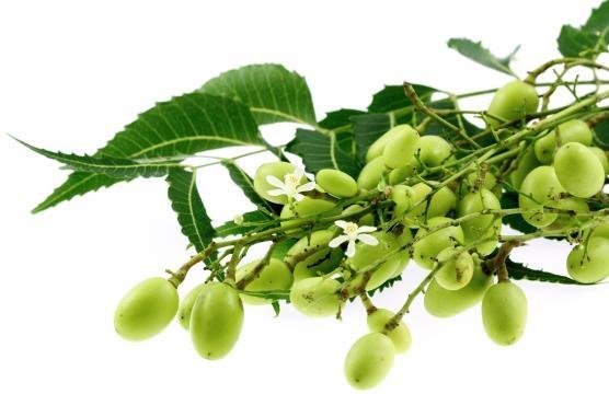 Le moringa oleifera: arbre magique