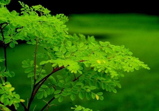 Un arbre magique dont les feuilles possèdent de multiples vertus
