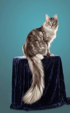 Cygnus, il gatto con la coda più lunga del mondo.