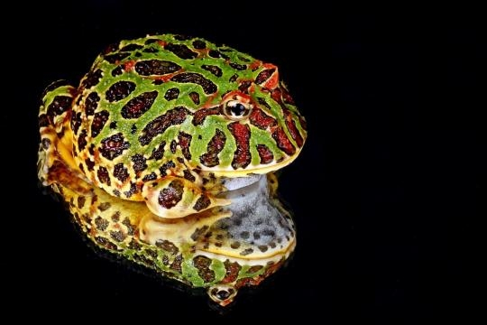 The South American horned frog is noted for its prominent round shape and large mouth. / Photo via Kaz on Pixabay