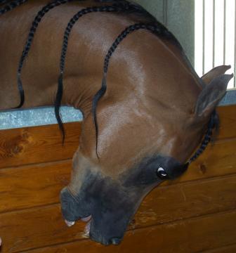 RD Condor is a white-eyed Arabian who likes his hair braided. [Image via B. Williams]