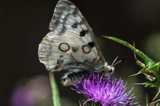 Mariposa Parnasiuss Apollo sobre flor de cardo