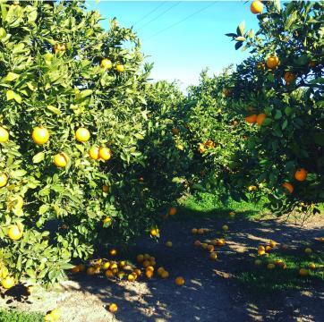 Alfara del Patriarca y sus naranjas en el suelo.