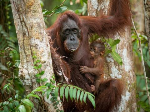 Los orangutanes de Borneo, en peligro de extinción. ¿Acaso el ser humano nunca va a aprender?.