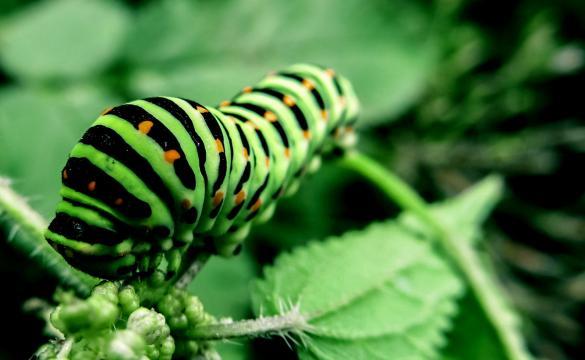 La oruga encabeza la relación de insectos más sólidos nutricionalmente