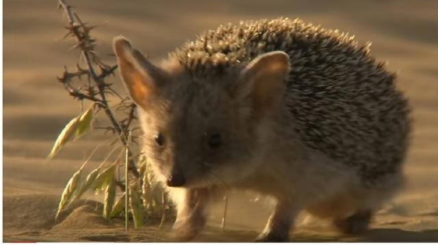 Cute but vicious hedgehog [Image courtesy Discovery UK YouTube video]