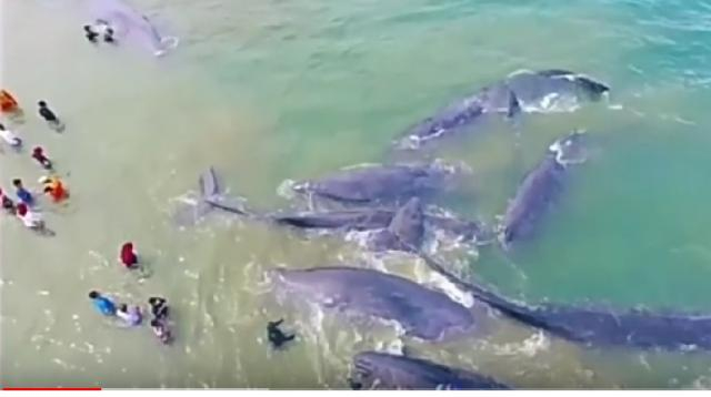 A group of sperm whale dumped off in Aceh, Indonesia. [Image source/ Ashri Fahra YouTube video]