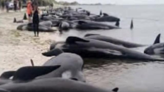Pygmy whales stranded on Ninety Mile Beach. [Image source/Specific YouTube video]