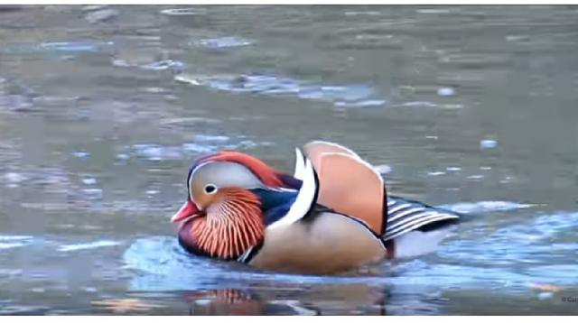 Musings on the Mandarin Duck Escapee in Central Park. [Image source/quoteny YouTube video]