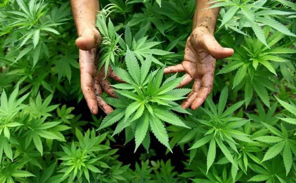 Debate abierto sobre legalización de marihuana en Honduras ... - elheraldo.hn