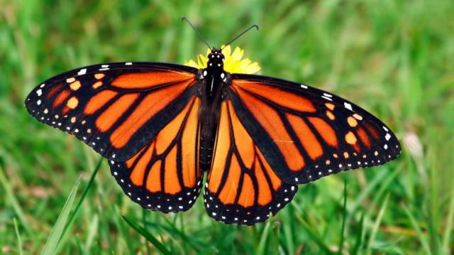 Monarch Butterfly - nationalgeographic.com