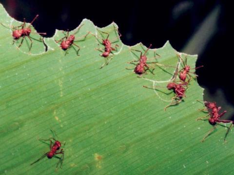 Curiosidades del Mundo Animal: Hormigas agricultoras y ganaderas - blogspot.com