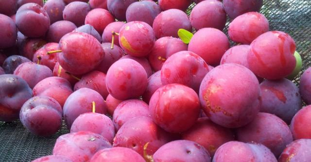 This is just to say we have explained the plums in your Twitter ... - vox.com