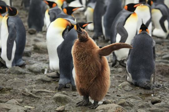 King Penguin Chick at Salisbury Plain. - [Image credit – Liam Quinn, Wikimedia Commons]