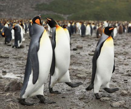 King Penguins at Salisbury Plain. - [Image credit – Liam Quinn, Wikimedia Commons]