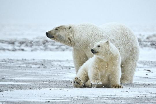 Polar bear sow and cub (Image credit - Alan D. Wilson, Wikimedia Commons)