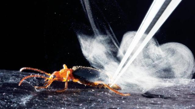 Il coleottero bombardiere emette lo spruzzo tossico dalla sua estremità posteriore