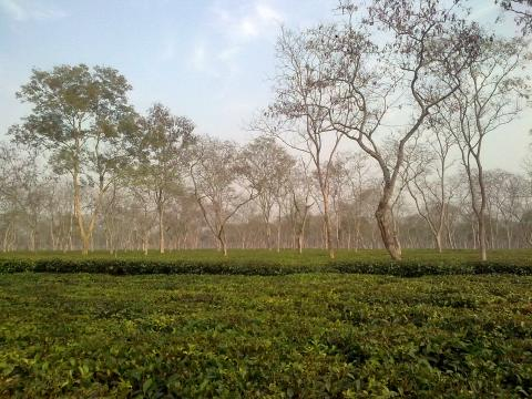 Tea garden in Assam image by Wikimedia Commons