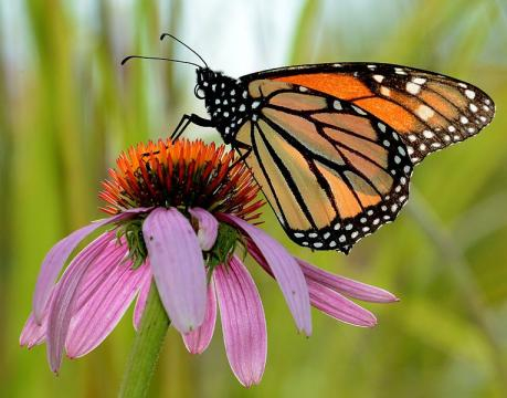 Monarch Butterfly on Purple Coneflower in Michigan (Image credit - Jim Hudgins, Wikimedia Commons)