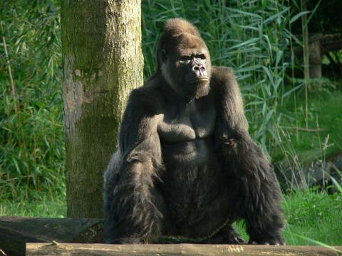 Male silverback gorilla in the Leipzig Zoo (Image credit – Thomas Lersch, Wikimedia Commons)